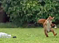 squirrel_soccer_nut