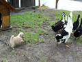 food_defender_puppy_vs_ducks