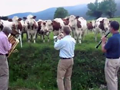 jazz-for-cows
