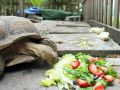 timelapse of tortoise eating