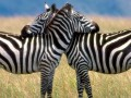 funny_talking_animals-zebras