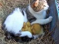 cat-and-ducklings